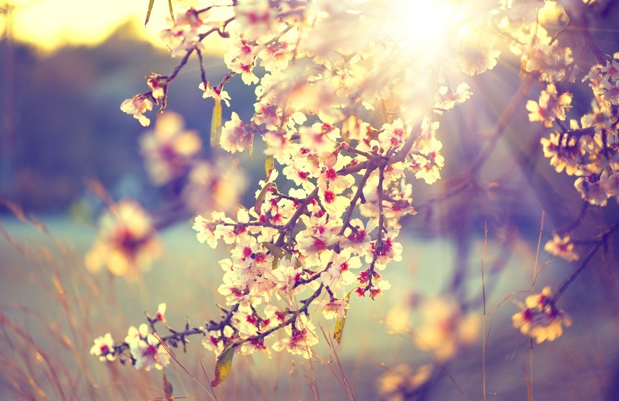 Beautiful nature scene with a blooming tree and sun flare.