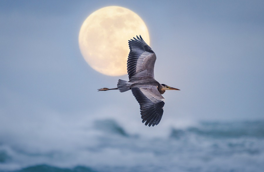 Bird flying on the beach with the full moon in the background.