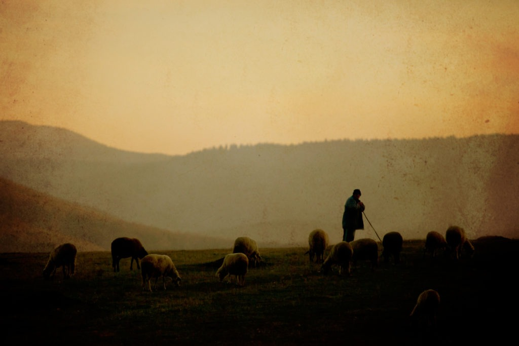 A shepherd and his sheep in vintage setting.