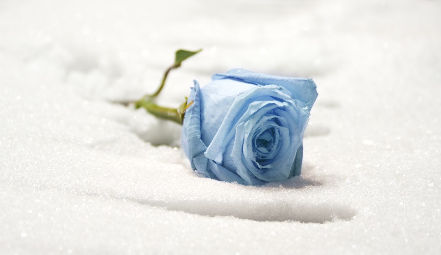 Blue rose on the ground forgotten at the snow.