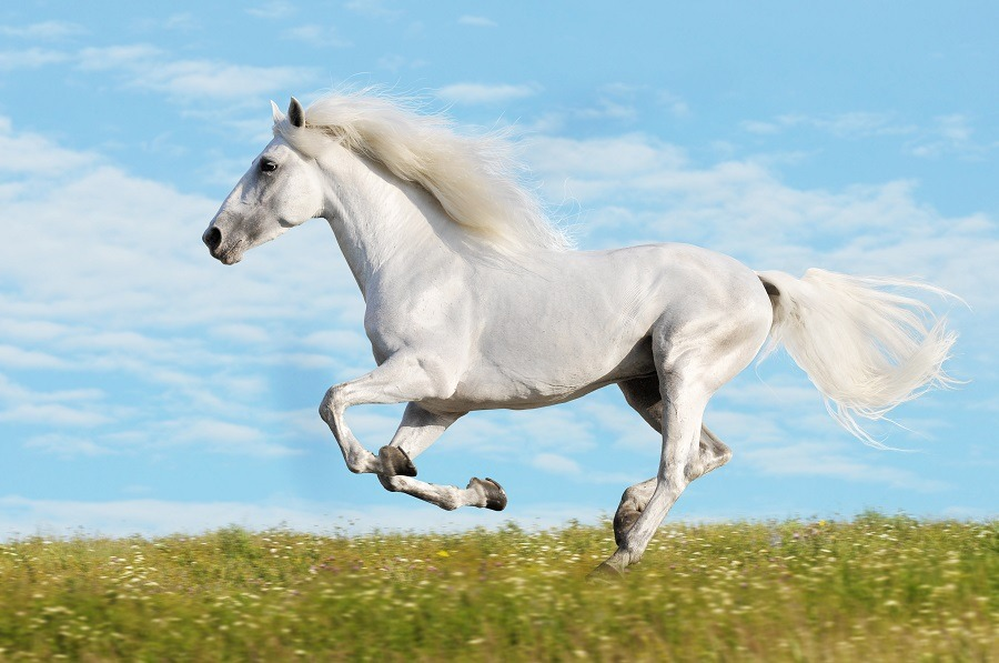Beautiful white horse gallops hooves high off the grass as if flying.