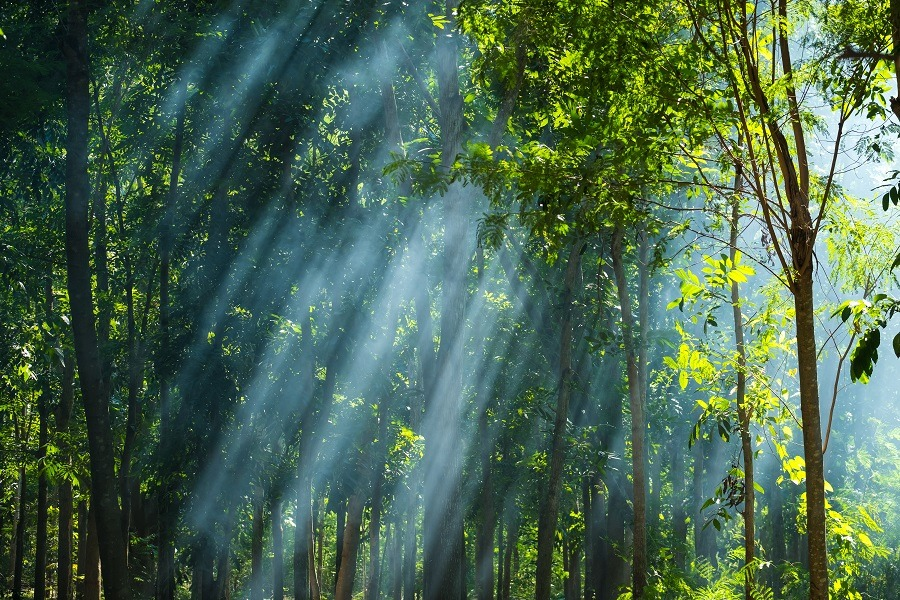 Sunlight streaming through the trees in the forest.