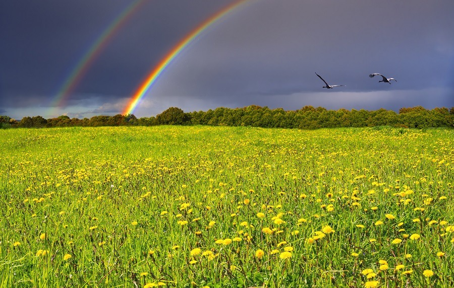 Spring blossoming dandelion field, above cloudy sky with double rainbow and couple of storks.