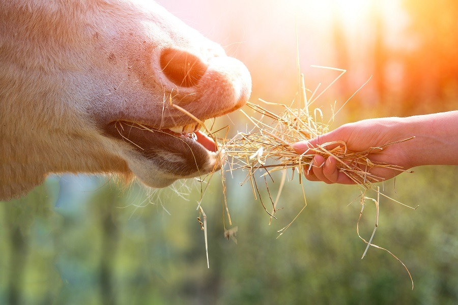 Horse eating from hand.