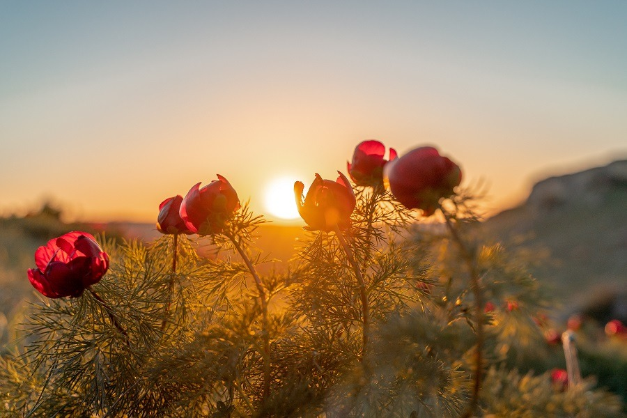 Wild peony in its natural environment against the sunset.