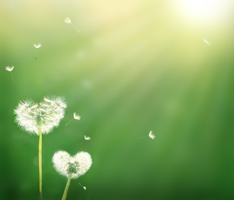 Dandelion in shape of a heart, with beautiful sun rays.