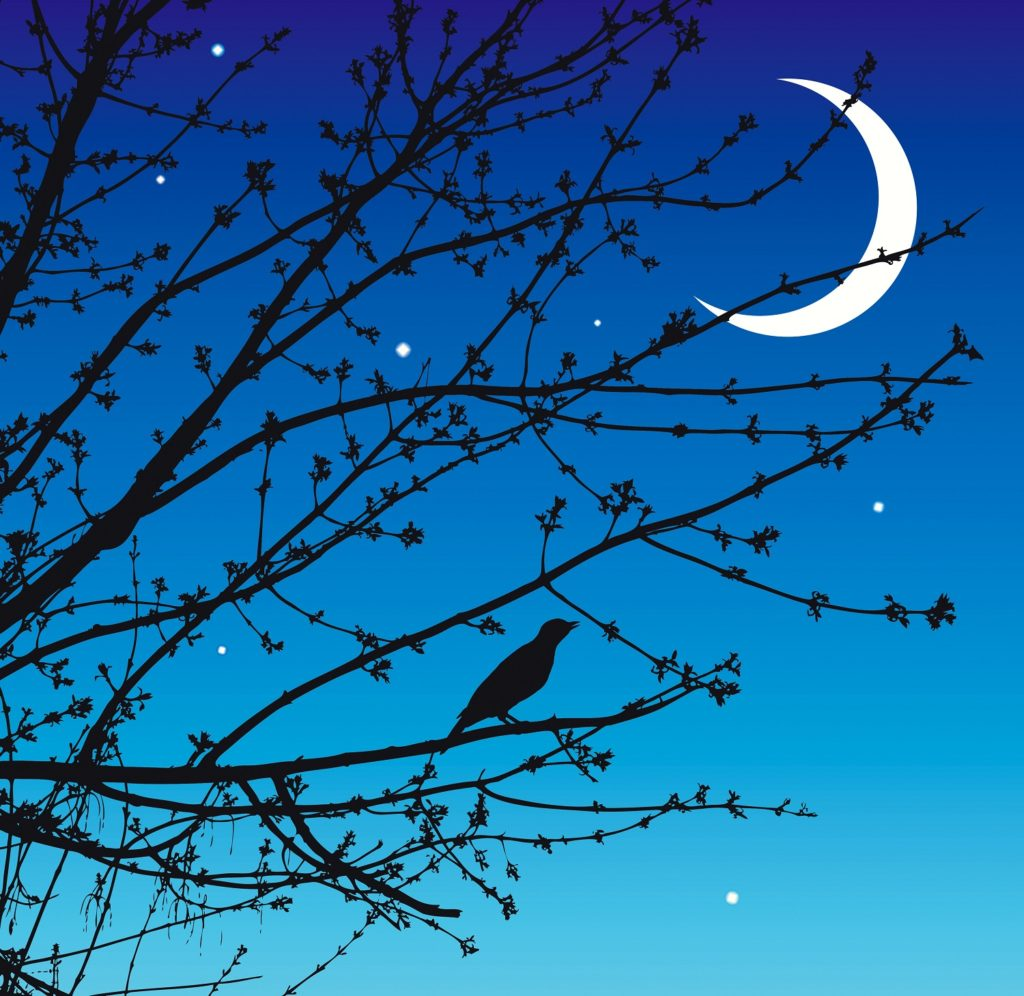 Silhouette of a nightingale on a warm spring night.