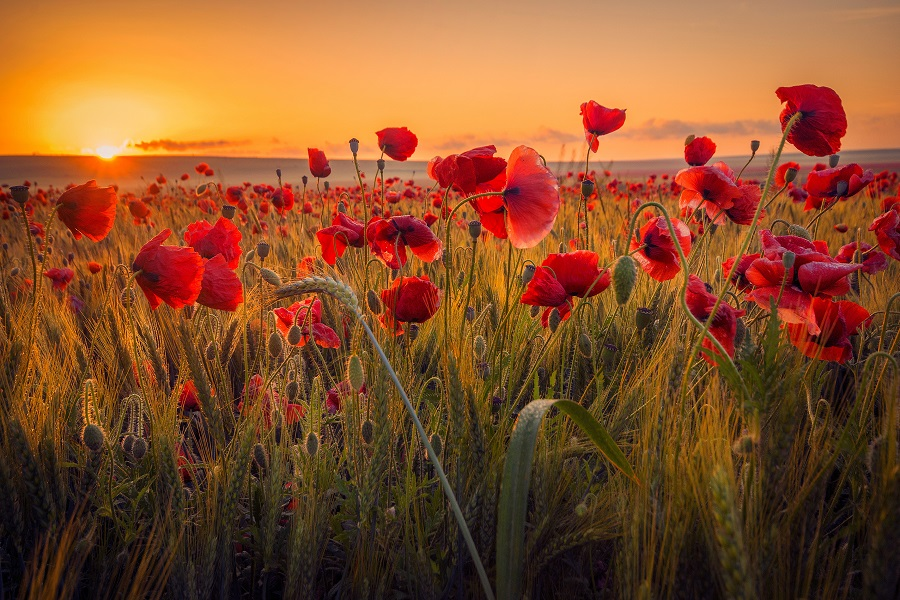 Amazing beautiful multitude of poppies growing in a field of wheat at sunrise with dew drops.