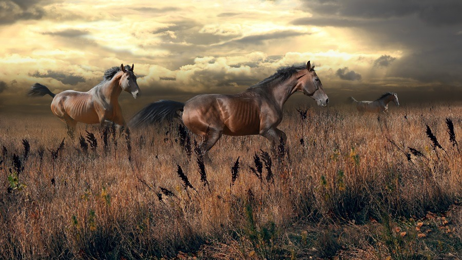 Free horses gallop across the steppe.