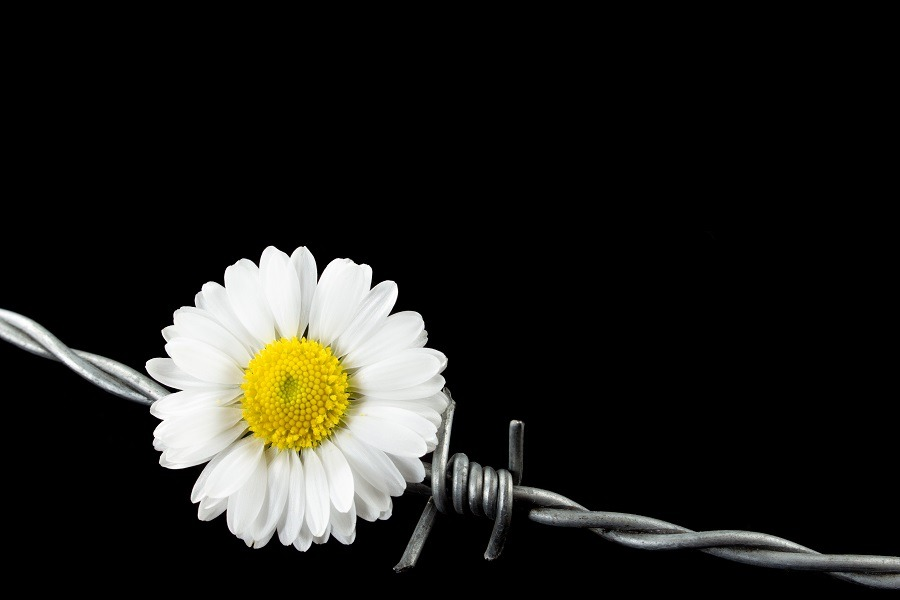Daisy flower and barbed wire signifying peace amid war or conflict.
