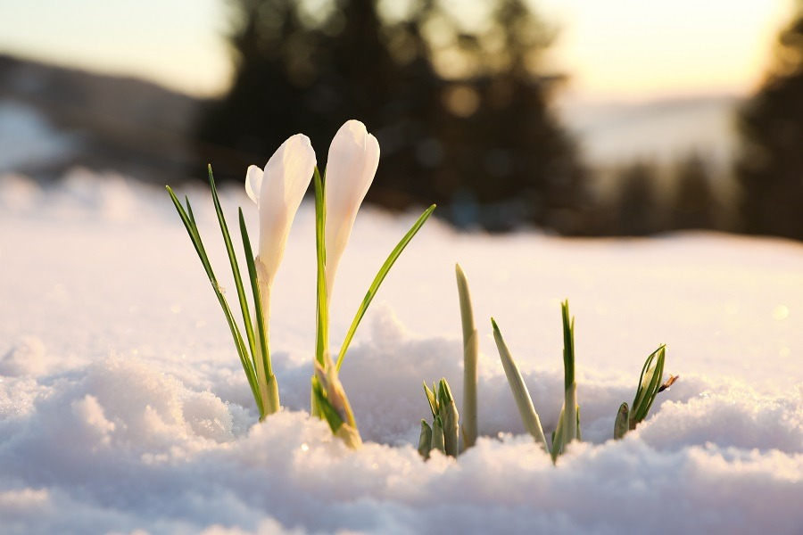 Beautiful first spring flowers growing through the snow.