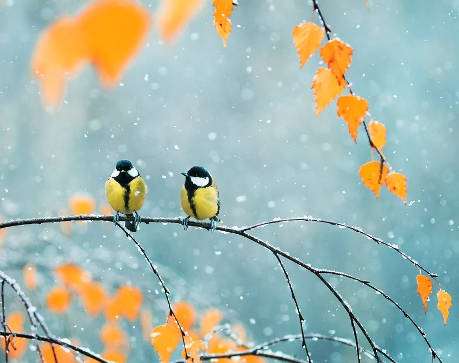 Cute couple birds sitting on a branch among bright autumn foliage during a snowfall.