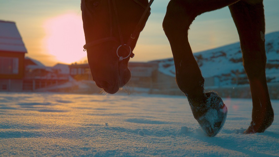 Young brown horse walking in the snow at beautiful sunset.
